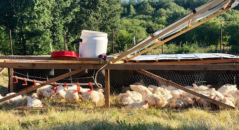 продава пасищни пилета гледани на открито без гмо без хормони